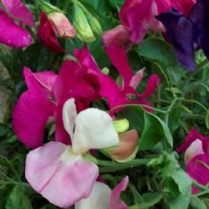 Sweet Pea - Little Sweetheart Mix - 60 seeds Dwarf